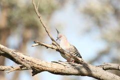 Crested Pigeon (Ocyphaps Lophotes). A Crested Pigeon perching on a branch in Melbourne, Australia Stock Photography