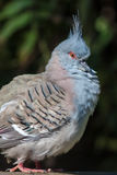 Crested pigeon (Ocyphaps lophotes) Royalty Free Stock Photos