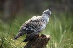 Crested pigeon (Ocyphaps lophotes) Stock Photography