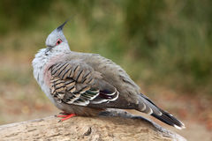 Crested pigeon (Ocyphaps lophotes) Stock Photos