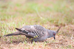 Crested Pigeon (Ocyphaps lophotes) Royalty Free Stock Photography
