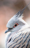 Crested pigeon (Ocyphaps lophotes) Royalty Free Stock Image