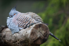 Crested pigeon (Ocyphaps lophotes). Stock Photos