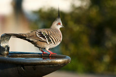 Crested pigeon on park drinking fountain. Crested pigeon standing on park drinking fountain Royalty Free Stock Photography