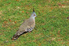 Crested pigeon profile closeup Royalty Free Stock Photography