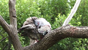 Crested pigeon sit on a tree stock footage