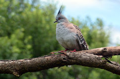 Crested pigeon sit on a tree Royalty Free Stock Photo