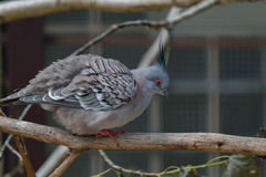 Crested pigeon Stock Images