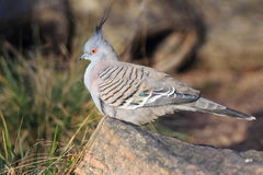 Crested pigeon. Sitting on the wood Royalty Free Stock Photo