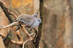 Crested pigeons Royalty Free Stock Images