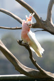 Crested pink parrot Royalty Free Stock Photography