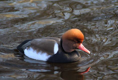 Crested pochard royalty free stock photography