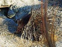 The crested porcupine Hystrix cristata, Das Gewöhnliche Stachelschwein, Westafrikanisches or Nordafrikanisches Stachelschwein stock images