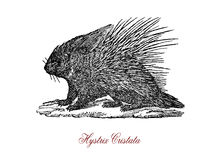 Crested porcupine Hystrix cristata,  vintage engraving. The crested porcupine Hystrix cristata is a species of rodent in the family Hystricidae found in Italy Royalty Free Stock Image
