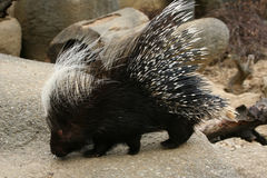 Crested porcupine Royalty Free Stock Image