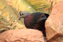 Crested quail dove Royalty Free Stock Photos