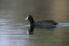 Crested or red-knobbed coot, Fulica cristata Royalty Free Stock Photography
