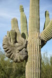 Crested Saguaro Royalty Free Stock Photos