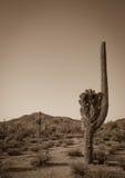 Crested saguaro in the Arizona Desert Stock Photo