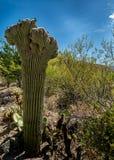 Crested Saguaro Cactus Stock Image