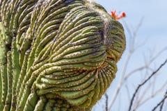Crested Saguaro. Detail of Crested Mutation Of Saguaro Cactus, Saguaro National Park, Tucson, Arizona Royalty Free Stock Images