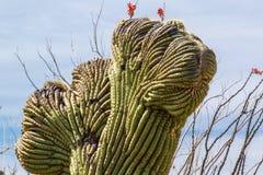 Crested Saguaro. Detail of Crested Mutation Of Saguaro Cactus, Saguaro National Park, Tucson, Arizona Stock Image