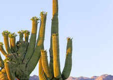 Crested saguaro Stock Photo