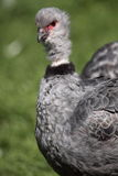 Crested screamer Stock Photo