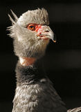 Crested Screamer Stock Photography