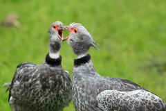 Crested screamer Royalty Free Stock Photography
