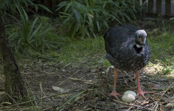 Crested Screamer Stock Images