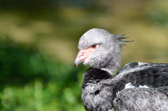 Crested screamer profile Stock Image