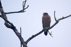 Crested serpent eagle, Bardia, Nepal Royalty Free Stock Photos