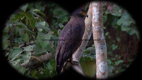 Crested Serpent Eagle Bird Spilornis cheela Seen through Binoculars. Bird Watching at Wildlife Safari. Shot with a Sony a6300 fps 29,97 4k stock video