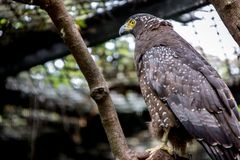 Crested serpent eagle in captivity at zoo. Spilornis cheela royalty free stock image
