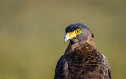 Crested Serpent Eagle - Close-up Royalty Free Stock Image