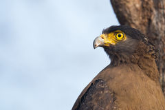 Crested serpent eagle closeup. Crested serpent eagle sitting on a branch and looking for prey Royalty Free Stock Image