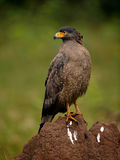 Crested Serpent eagle. CSE perched on an anthill at Rajiv gandhi national park, Kabini stock photos
