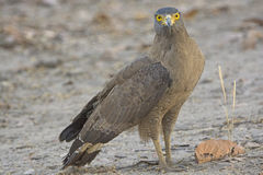 Crested Serpent Eagle on the Ground Royalty Free Stock Photos