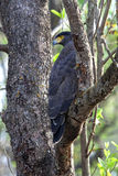 Crested Serpent Eagle in India Royalty Free Stock Images
