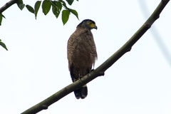 Crested Serpent Eagle Stock Images