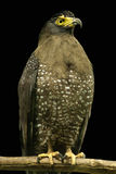 Crested Serpent Eagle Royalty Free Stock Photos