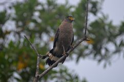 Crested Serpent Eagle Royalty Free Stock Photography