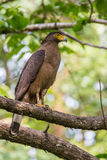 Crested serpent eagle portrait Royalty Free Stock Image