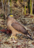 Crested serpent eagle. Predatory bird walking on the forest floor royalty free stock images