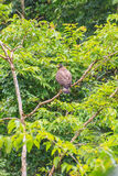 Crested Serpent Eagle resting on a perch Royalty Free Stock Photo