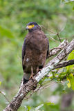 Crested serpent eagle. Sitting on a branch and looking for prey Stock Photos