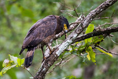 Crested serpent eagle. Sitting on a branch and looking for prey Stock Photography