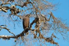 Crested Serpent eagle sitting on tree. Against blue sky, Yala National Park, Sri Lanka Stock Image