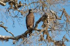 Crested Serpent eagle sitting on tree. Against blue sky, Yala National Park, Sri Lanka Stock Photo